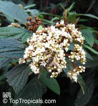 Viburnum rhytidophyllum, Leatherleaf ViburnumClick to see full-size image