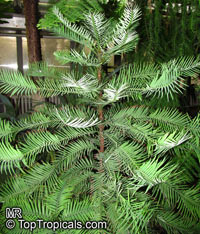 Wollemia nobilis, Wollemi Pine