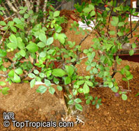 Bursera fagaroides, Elephant Tree, Fragrant Bursera  Click to see full-size image