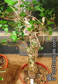 Commiphora humbertii, Commiphora  Click to see full-size image