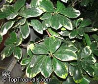 Corynocarpus laevigata Variegata, Variegated New Zealand LaurelClick to see full-size image