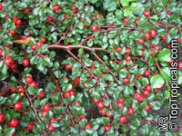 Cotoneaster sp., CotoneasterClick to see full-size image