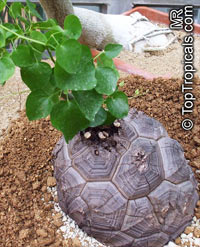 "Dioscorea mexicana - Elephant foot, 6-8"" caudex  Click to see full-size image"