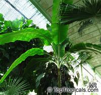 Ensete ventricosum, Musa arnoldiana, Musa ensete Maurelii, Red banana, Abyssinian banana, Ethiopian banana  Click to see full-size image
