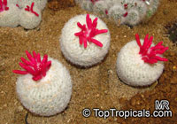 Epithelantha sp., Button Cactus  Click to see full-size image