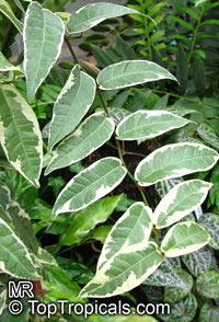 Ficus sagittata, Ficus radicans, Variegated Rooting Fig  Click to see full-size image