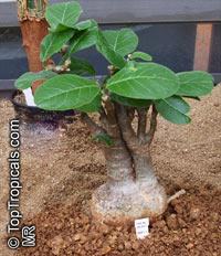 Fockea multiflora, Elephant Vines, Python Kambro, Pythonranke, Pythonwein  Click to see full-size image