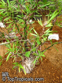 Fouquieria purpusii, Fouquieria   Click to see full-size image