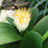Haemanthus albiflos , Paint BrushClick to see full-size image