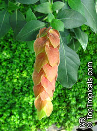 Justicia brandegeana guttata, Beloperone guttata, Red Shrimp Plant