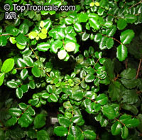 Malpighia coccigera , Miniature Holly, Singapore Holly, Florida Holly