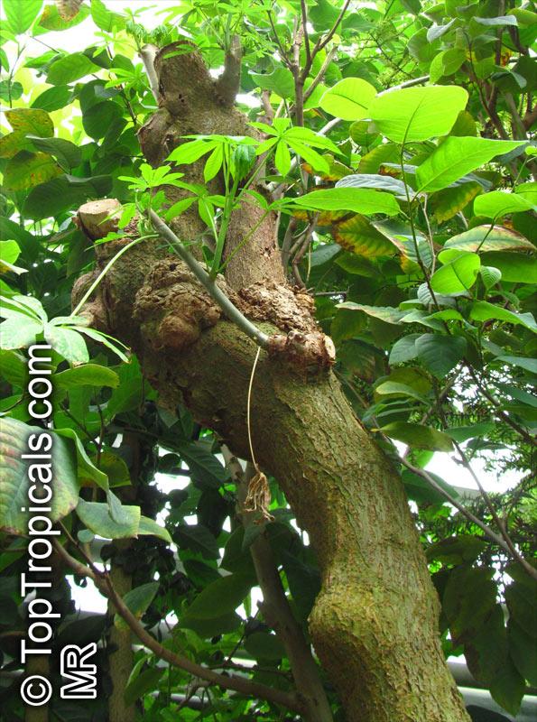 the effectiveness of cassava manihot esculenta Manihot esculenta ( commonly called cassava ( ), yuca , manioc , mandioca and brazilian arrowroot ) is a woody shrub.