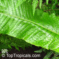 Microsorum musifolium, Alligator Fern, Crocodile Fern  Click to see full-size image