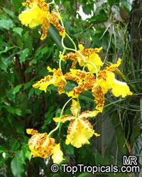 Odontoglossum sp., OdontoglossumClick to see full-size image