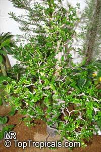 Operculicarya decaryi, Jabily, Elephant TreeClick to see full-size image