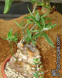 Pachypodium succulentum , Caudiciform Pachypodium  Click to see full-size image