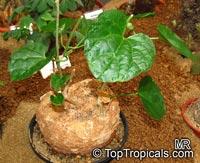 Pyrenacantha malvifolia, Monkey ChairClick to see full-size image