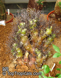 Tylecodon sp., TylecodonClick to see full-size image