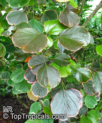 Acalypha wilkesiana, Fire Dragon Acalypha, Hoja de Cobre, Copper Leaf  Click to see full-size image