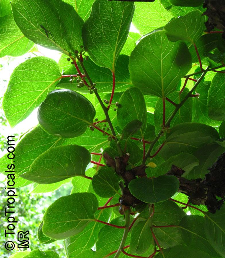 Actinidia Arguta Hardy Kiwifruit Kiwi Berry Arctic Kiwi