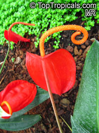 Anthurium scherzerianum, Flamingo Flower  Click to see full-size image