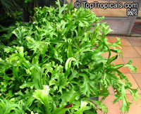 Asplenium sp., Bird's Nest Fern  Click to see full-size image