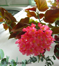 Begonia corallina, Cane Begonia  Click to see full-size image