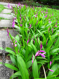 Bletilla striata, Hyacinth Orchid, Chinese Ground Orchid  Click to see full-size image
