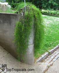 Caragana arborescens, Siberian Peashrub  Click to see full-size image