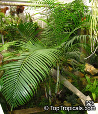 Chrysalidocarpus lutescens, Areca lutescens, Dypsis lutescens, Yellow Butterfly Palm, Cane Palm, Madagascar Palm, Golden Feather Palm, Yellow Palm, Bamboo Palm, Areca PalmClick to see full-size image