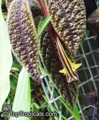 Columnea purpureovittata, Trichantha purpureovittata, Columnea   Click to see full-size image