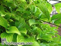 Cornus mas, Cornelian Cherry Dogwood  Click to see full-size image
