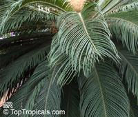 Cycas revoluta, Sago Palm, King Sago  Click to see full-size image