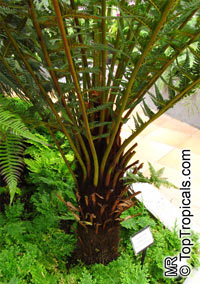 Dicksonia antarctica, Soft Tree Fern, Man Fern  Click to see full-size image