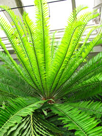 Dioon sp., Virgin Palm  Click to see full-size image