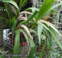 Eria floribunda, Eria  Click to see full-size image