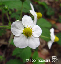 Fragaria sp., Strawberry  Click to see full-size image