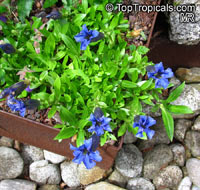 Gentiana sp., GentianClick to see full-size image