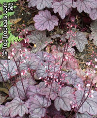 Heuchera sp., Alumroot, Coral Bells  Click to see full-size image