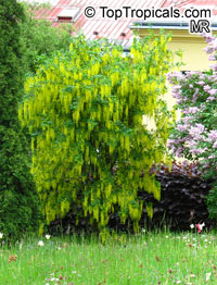 Laburnum sp., Golden Chain Tree, Scotch Laburnum  Click to see full-size image