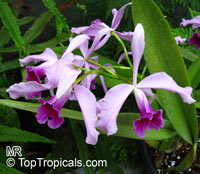 Laelia sp., Laelia