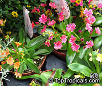 Lewisia cotyledon, Cliff Maids  Click to see full-size image