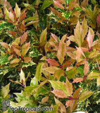 Osmanthus heterophyllus, Holly Osmanthus, Holly Olive, False Holly  Click to see full-size image