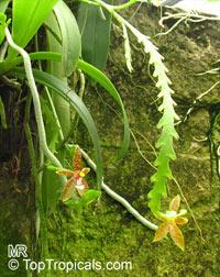 Phalaenopsis cornu-cervi, Deer Antler Moth Orchid, Deer-antlered Phalaenopsis  Click to see full-size image