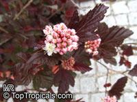Physocarpus opulifolius, Opulaster opulifolius, Spiraea opulifolia, Common Ninebark, Eastern Ninebark  Click to see full-size image