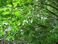 Prunus serrula, Tibetan Cherry, Paperbark Cherry  Click to see full-size image