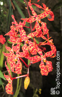 Renanthera sp., Fireworks orchid  Click to see full-size image