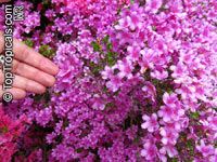 Rhododendron kiusianum , Kyushu azalea  Click to see full-size image