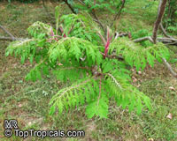 Rhus sp., Sumac