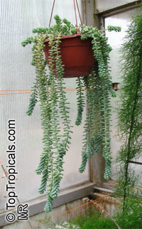 Sedum burrito, Sedum morganianum 'Burrito', Burro's Tail Sedum  Click to see full-size image